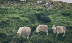 Owce Wysp Owczych