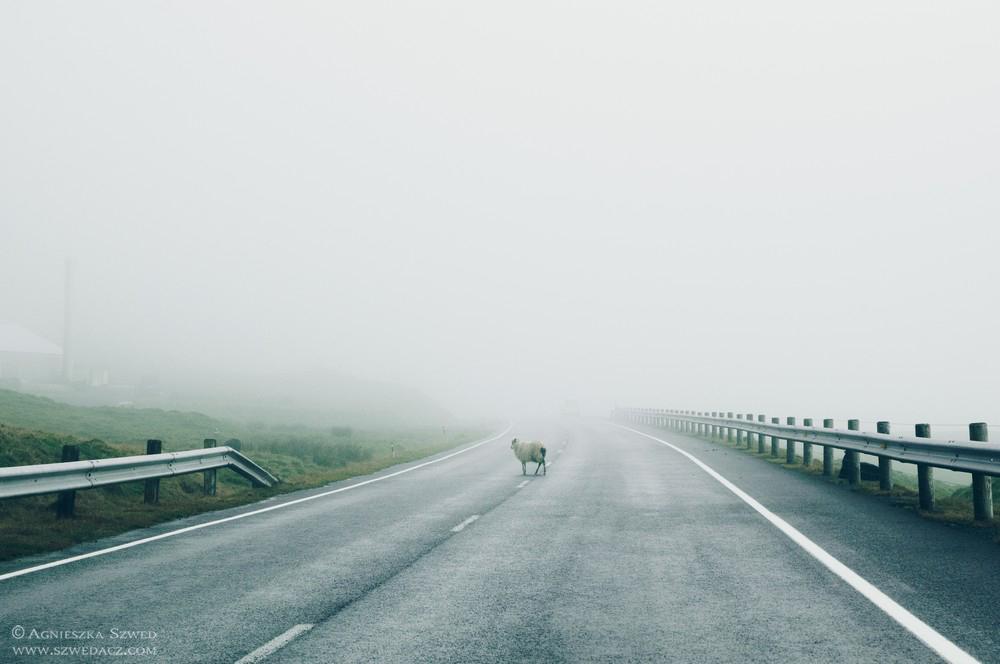Owce na Wyspach Owczych – ciekawostki o najliczniejszych mieszkańcach archipelagu