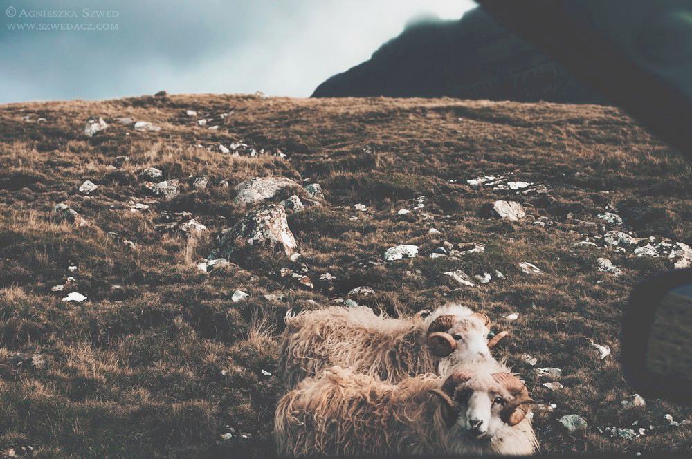Owce naWyspach Owczych