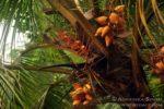 palma kokosowa Kottawa Forest Reserve las deszczowy na Sri Lance