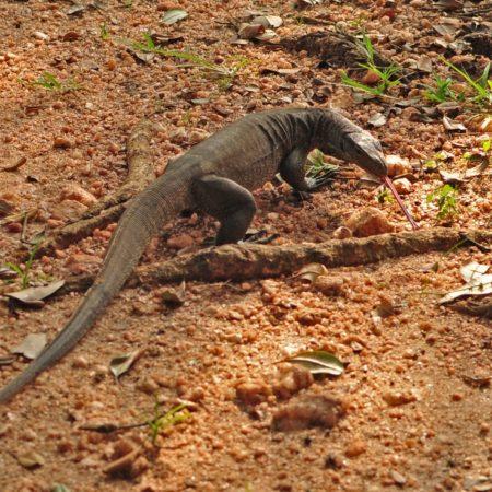jaszurki w Polonnaruwa