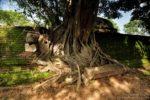 drzewo w Polonnaruwa