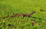 jaszczurki w Polonnaruwa