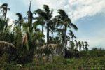 Palmy Isla Iguana, Iguana Island