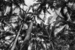 palmy na Isla Iguana, Iguana Island
