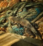 Iguany na Isla Iguana, Iguana Island