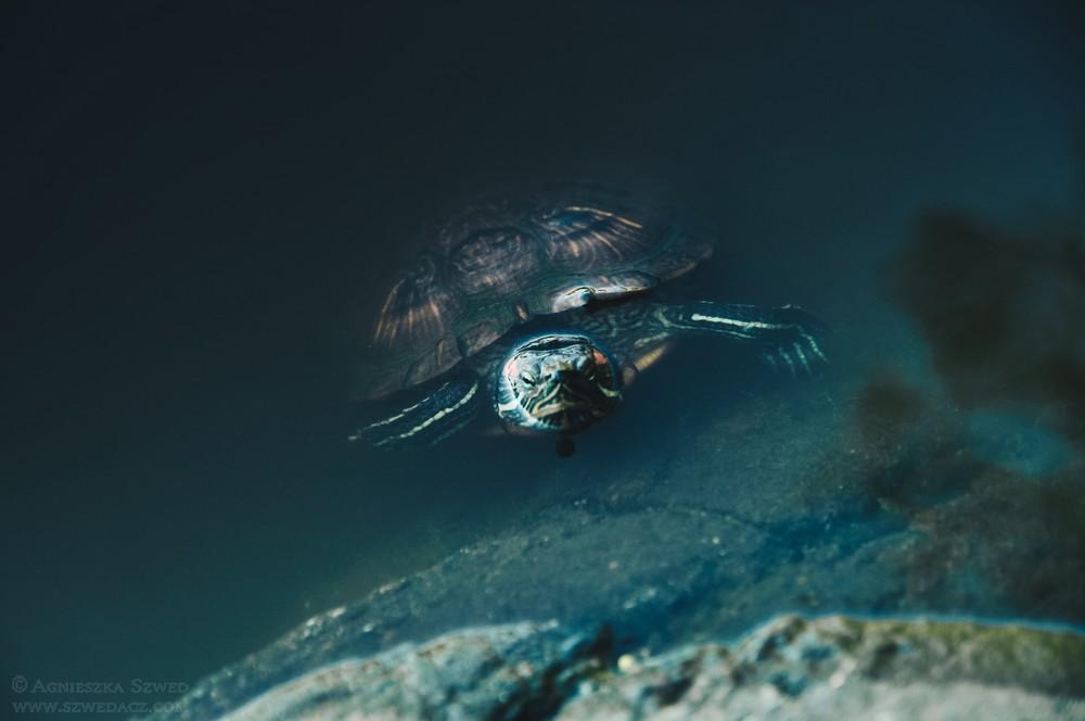 Nowy Jork - żółwie w Central Parku