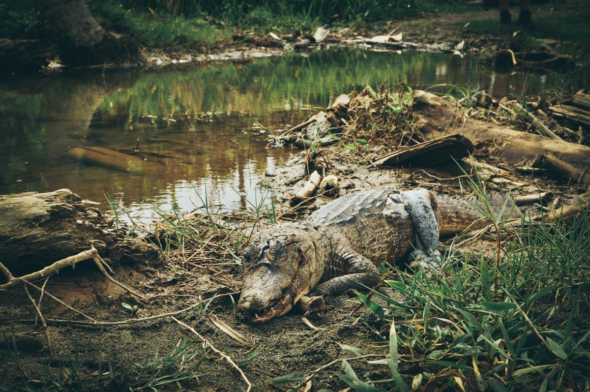 Panama, martwy krokodyl w okolicach Portobelo