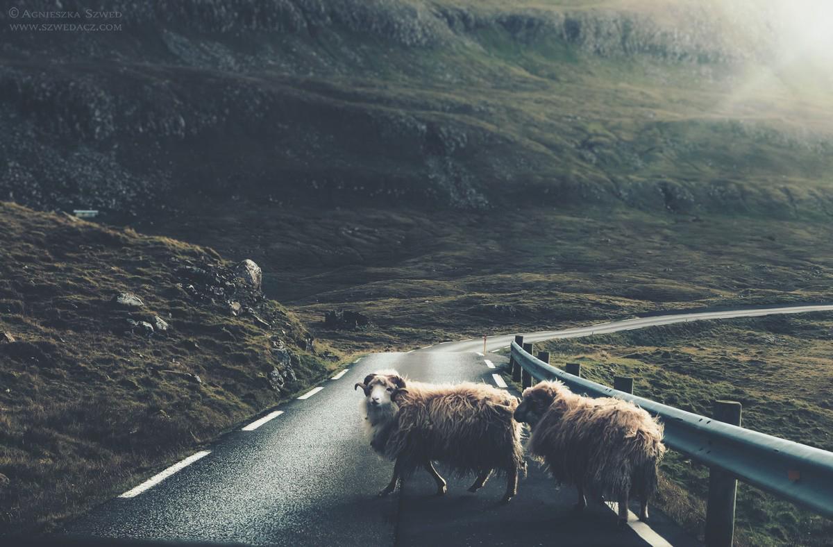 Owce na Wyspach Owczych